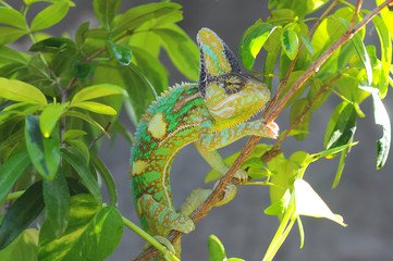 Portrait of a chameleon, Indonesia
