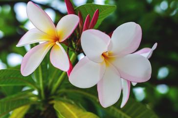 Papiers peints Frangipanni plumeria flowers