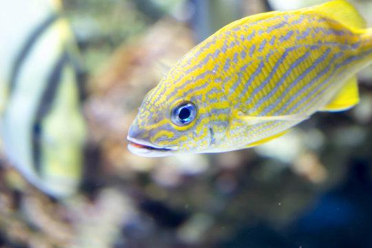 Blurry photo of French grunt Haemulon flavolineatum fish in a sea aquarium