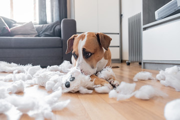 Guilty dog and a destroyed teddy bear at home. Staffordshire terrier lies among a torn fluffy toy,...