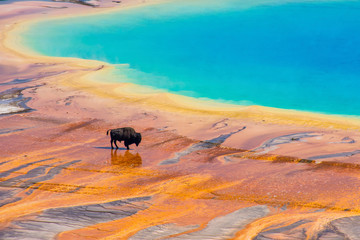 Fotobehang Koraal Bison walking near Grand Prismatic Spring, Yellowstone National Park