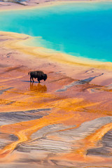 Bison walking near Grand Prismatic Spring, Yellowstone National Park