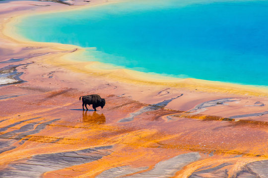 Bison walking near Grand Prismatic Spring, Yellowstone National Park