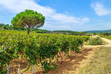 Ladscape of wineyards around Saint Tropez, Cote d'Azur, France