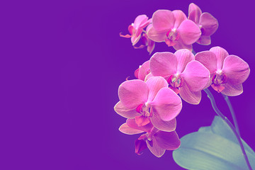 Pink orchid phalaenopsis on purple background. Branch of orchid. Bouquet.