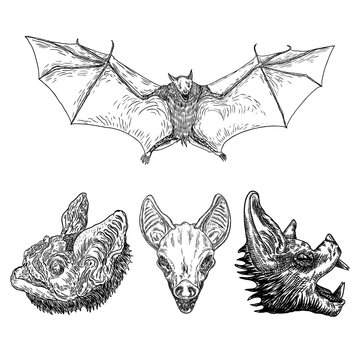 Set of aggressive flying bats with open wings drawing. Gothic illustration of monsters for the Halloween. Occult attributes decorative elements. Night creatures with fangs. Flying vampires. Vector.