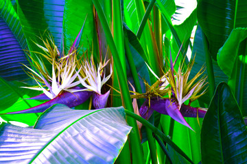 Obraz Tropical leaves foliage plant bush floral arrangement nature zine backdrop background. Exotic palm leaves close up in vibrant bold trendy colors. Magazine cover still life. - fototapety do salonu