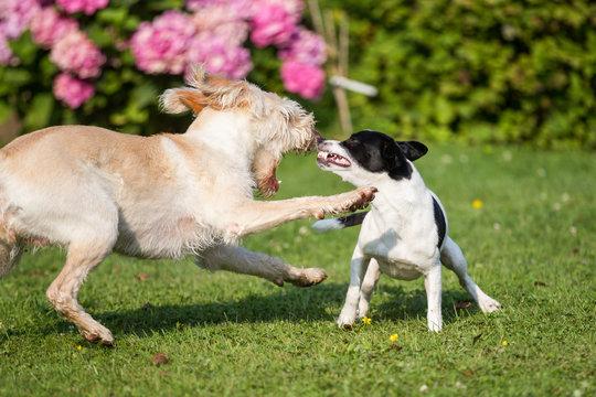 zwei Hunde spielen im Garten mit Frühlingsblumen beißen kläffen kämpfen und knurren drohen Drohgebährden wegbeißen energische Verwarnung