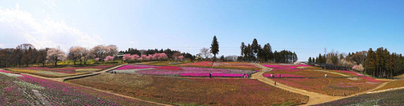 【埼玉県秩父市 観光名所】芝桜の丘(羊山公園)