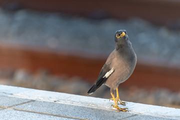 Myna Bird at the Train Station