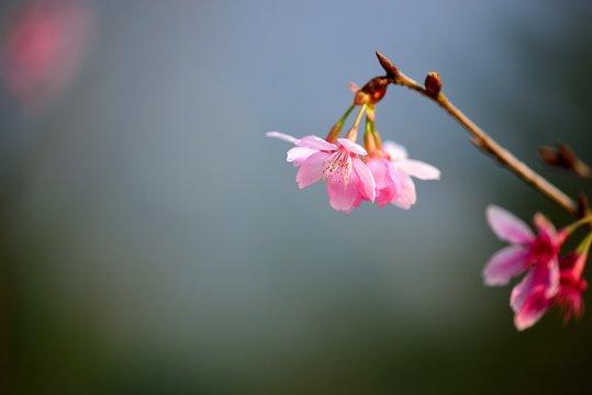 Flower of magnolia, Cherry blossom