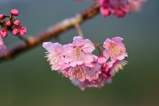 Cherry blossom on background of blue sky