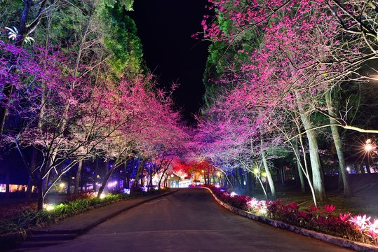 Cherry blossom trees and light trails on the road