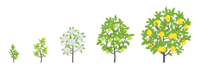 Lemon tree growth stages. Vector illustration. Ripening period progression. Fruit tree life cycle animation plant seedling. Lemon increase phases. Citrus limon.