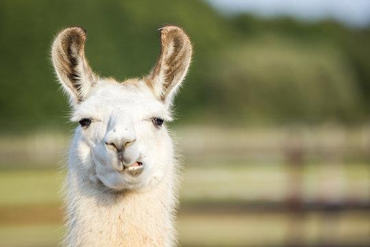 süßes weißes Lama Portrait kaut und schmatzt und zeigt seine Zähne