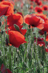 poppy field blossoming in summer. beautiful nature background. remembrance day concept