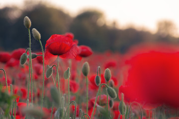 poppy field blossoming in summer. beautiful nature background at dusk. remembrance day concept