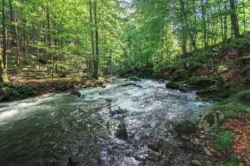 rapid river in the ancient beech forest. beautiful summer nature scenery. creek with huge mossy boulders on the shore.