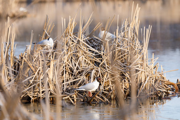 Terns breed in nest made of reed