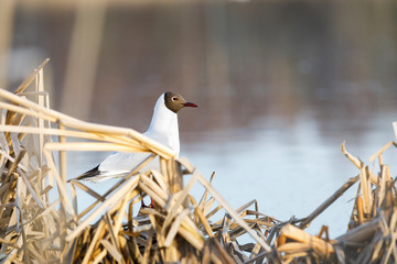 Black headed gull stand and sing on its nest