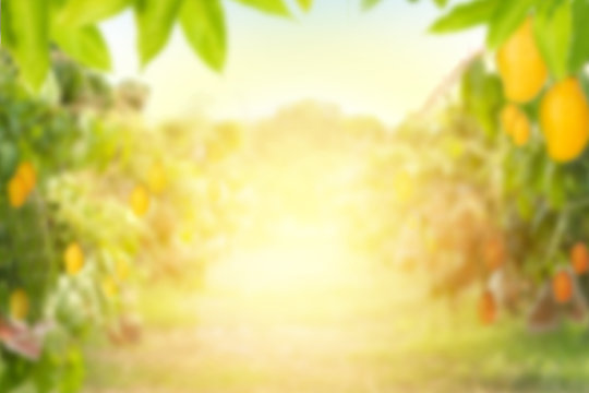 Mango tree with Mango fruit at farm with sunlight for background, Blur background concept.