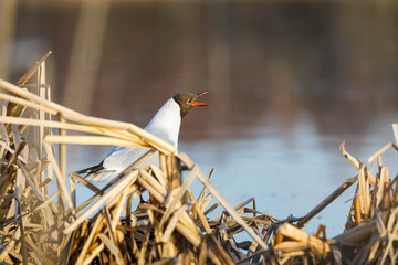 Tern stand and sing on its nest