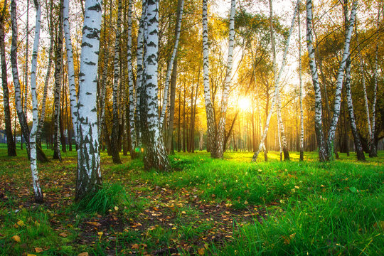 Autumn birch trees in bright sunlight. Forest nature landscape at sunset
