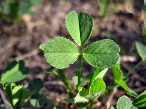 Plant medicago lupulina