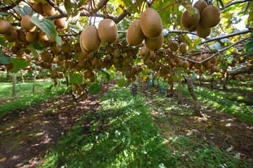 Kiwis hanging from the vines in an orchard with the sun streaming through the leaves