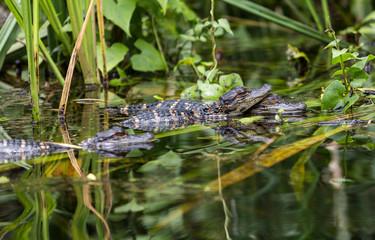 Baby alligators in the wild Everglades, Florida.