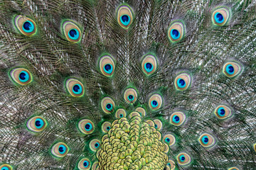 Foto op Canvas Pauw peacock bird wonderful feather open wheel portrait