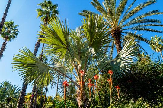 Marrakech, Morocco - 11, 2019 : Various cactuses at the Jardin Majorelle botanical garden located in Marrakech, Morocco.