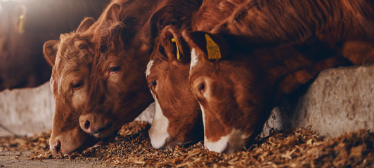 Aluminium Prints Cow Close up of calves on animal farm eating food. Meat industry concept.