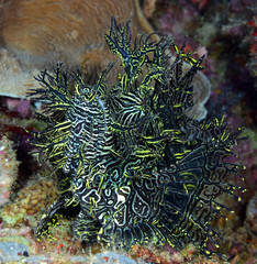 Incredible Underwater World - Lacy scorpionfish - Rhinopias aphanes. Papua New Guinea, Milne Bay.