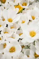 Kwiaty - krokusy w ogrodzie