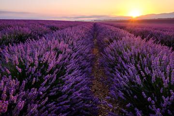 Garden Poster Lavender Champ de lavande en Provence, France, plateau de Valensole. Lever de soleil.