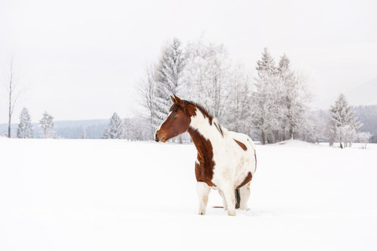 Brown and white horse slovak warmblood breed on snow covered field in winter, blurred tree background