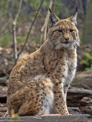 The Scandinavian lynx, Lynx lynx lynx, sitting and watching around