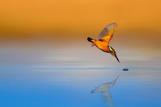 Amazing bird Kingfisher. Diving bird. Colorful nature background. Bird: Common Kingfisher. Alcedo atthis