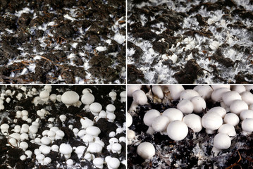 A combination of pictures shows the growth from mycelium to champignons on compost at Swiss mushroom producer Wauwiler Champignons AG in Wauwil