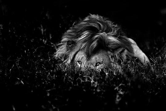 Lions in the savannah (B & W)