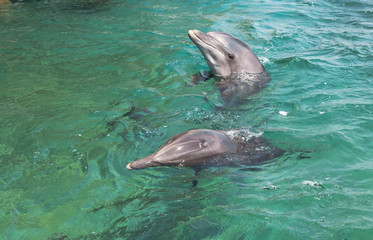 Aluminium Prints Dolphin two swimming dolphins in the israel city eilat