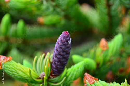 New Spring Young Purple Pine Cones Stock Photo And Royalty Free