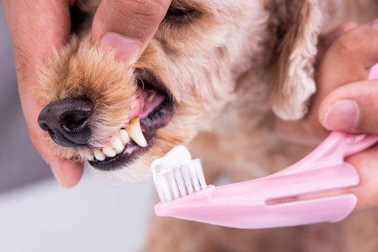 Vet brushing pet dog teeth coated with plaque with toothpaste