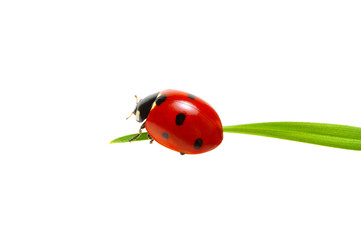 Fototapeta Ladybug on grass obraz