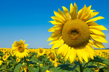 Wall Mural - sunflower over cloudy blue sky