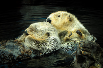Couple of Wild Sea otters floating in the water