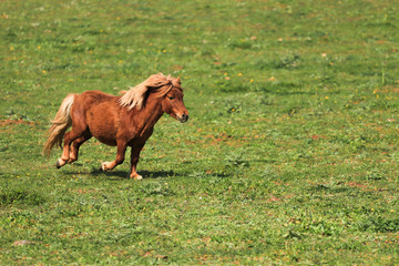 Nice pony running on meadow