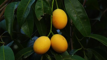 Fototapete - Tropical fruit, Marian plum hanging on a tree