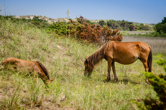 grazing NC wild horses on island - mare and foal